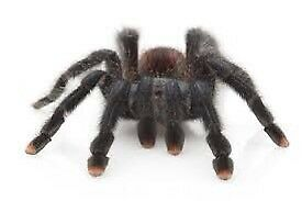 Pink Toe Tarantula (sold out atm)