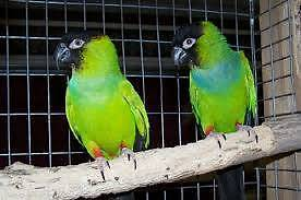 Bonded Pair Nanday Conures Belair Mitcham Area Preview