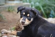 WANTED LOOKING FOR A BLACK &TAN MALE KELPIE PUPPY!! Narre Warren North Casey Area Preview