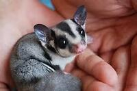 female sugar glider and accessories