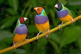 Gouldian Finches, Star finches & Ruddie finches Wallsend Newcastle Area Preview
