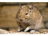 Degu and cage