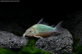 Tropical fish. Emerald Cory's. Tropical fish. Aquarium