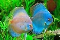 Looking for discus fry