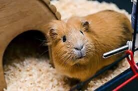 Accessories for guinea pig