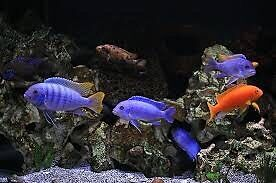 Wanted: any mbuna african cichlid