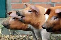 Looking for Info on pigs, where to buy live pigs