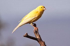 Pair of yellow canaries.