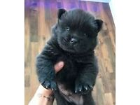 Stunning Chow Chow puppy for sale