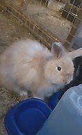 Lost Female Rabbit in Keith , Balloch Road