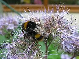 phacelia 1 kg facelia saatgut b schelblume bienenweide top. Black Bedroom Furniture Sets. Home Design Ideas