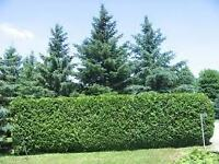 Spring Specials on Cedar Hedges / cedar hedging