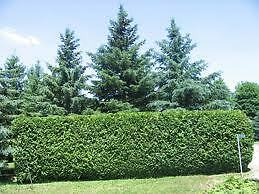 Summer Specials on Cedar Hedges / cedar trees , hedging