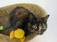 Tortoise shell female cat for sale