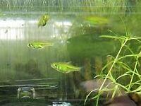 (Free to a good home) 4 x Neon Green Rasbora - Tropical fish