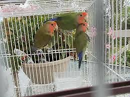 3 handraised spoonfed super tame lovebirds