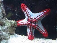 Marine african red starfish