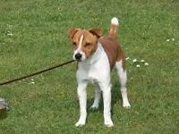 Lovely Jack Russell for sale