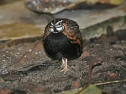 15 quail