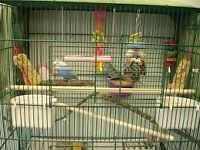 2 budgies free to collector