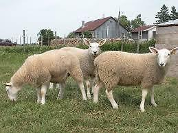 Mouton,agneau,veau,Chèvres,boeuf,agneaux