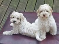 MALE COCKAPOO- White, Grey or Particolour