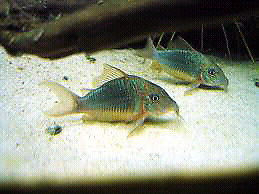Emerald Green Cory Catfish
