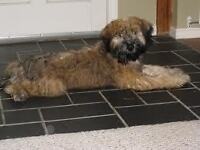 We are looking for a loving home for our 8 yroldWheaten Terrier