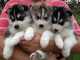 I want to buy a Siberian Husky puppy