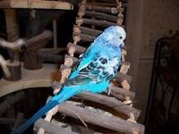 Same tame Baby budgie with large Cage