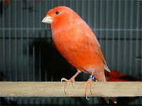 Light Orange Canary