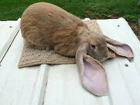 English lop bunny