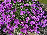 Aubretia perennial plants