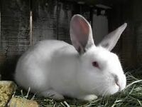 Rabbit Ear Mite Treatment