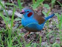 Cordon blue finches St Albans Brimbank Area Preview
