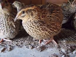 Quail (European-Japanese) - Available February 2. Campbellfield Hume Area Preview