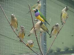 Gouldian Finches Seville Yarra Ranges Preview
