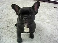 French bulldog boy 16 weeks old