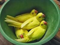 yellow ringneck parrots 12 weeks old males and females easy to train with papers