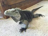 Iguana free to a good home
