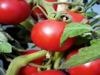 Tomato Plants **VARIOUS VARIETIES**