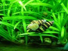 Assassin Snails 3 for £2