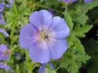 johnsons blue geranium plant cottage garden favourite