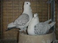 Satinette Pigeons going to Trails End Small Animal Auction