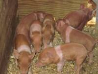 Duroc pigs for sale