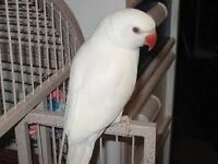 Gorgouse baby white ring neck talking parrot