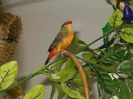 Magnificent  golden breasted waxbill male  price Dropped to $60