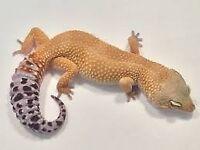3 leopard geckos for sale and enclosure