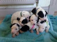 dalmation cross female puppy