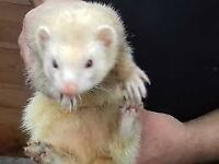 Ferret Hob for sale